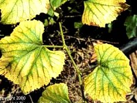 Chlorosis of fruit trees