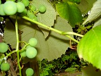 Hungarian table grapes