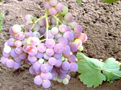 Nimrang grape