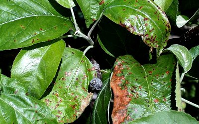 Red  leaf spot plum