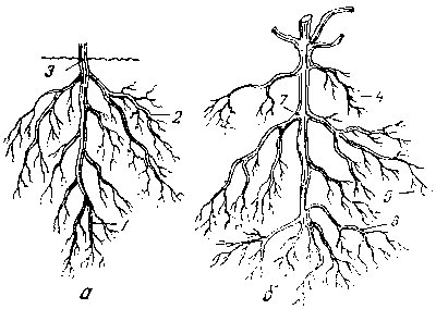 Root system of seedling