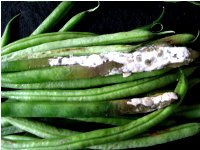 White rot of vegetable crops