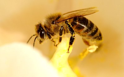 dusting plants by bees