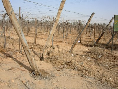 farm with drip irrigation grape