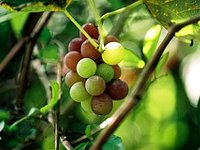 formation of grape branches