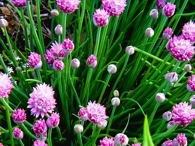 onions chives