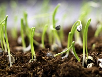 germinated vegetable seeds