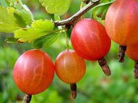 gooseberry_red