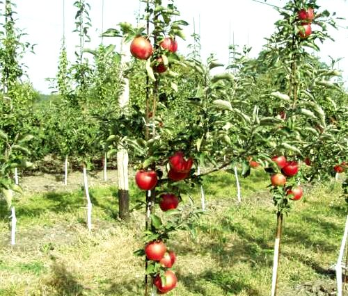 grafted apple