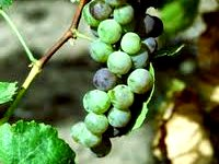grape vine grafted