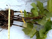 grape cuttings