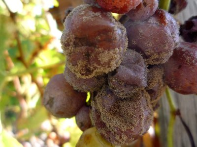gray mold on the grape