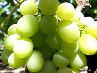 karaburnu grape