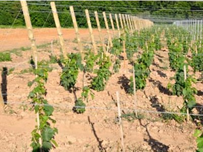 planting vineyards