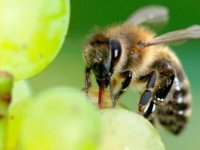 pollination of flowers of grape