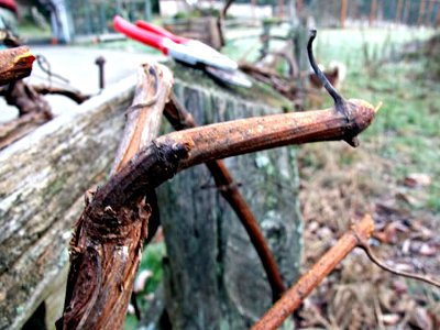pruning grape
