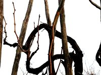 pruning grapes links
