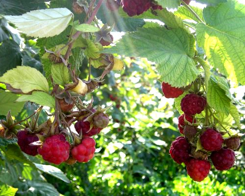 ripe_raspberries