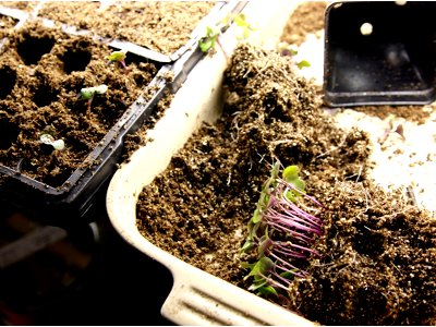 seedling transplants