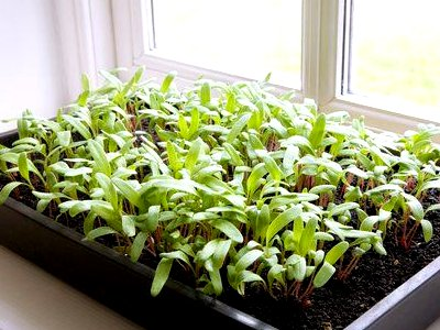 seedlings of pepper
