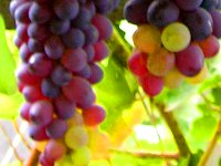 vegetation grapes