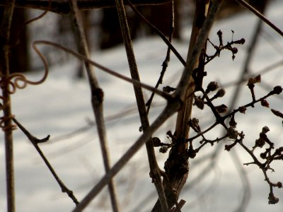 vine branches in winter