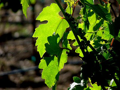 young grape-vine